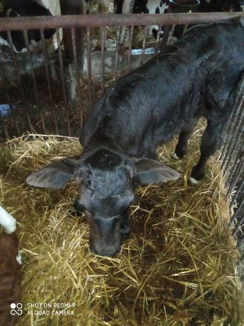 Sprzedam mięsnego byczka