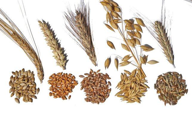 Zboża jare - pszenica, pszenżyto, owies, żyto, Łubin, groch, bobik