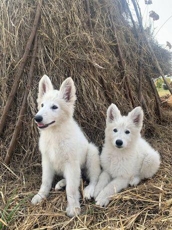 Біла швейцарська вівчарка