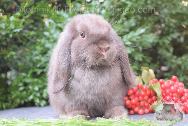 Девочка породы Mini Lop. Окрас гавана. Вислоухий кролик из питомника