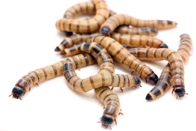 Личинки зоофобуса - лакомство для стрижей, ежей, сов и рептилий