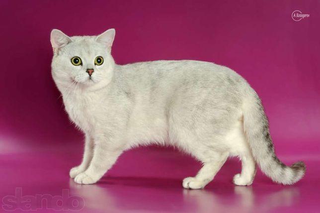 Вязка. Племенной шотландский кот окраса ns11(серебристая шиншилла)