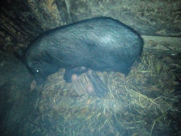 Вятнамські свині