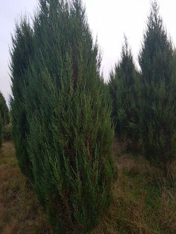 Jałowiec Juniperus Blue Arrow - LIKWIDACJA PLANTACJI