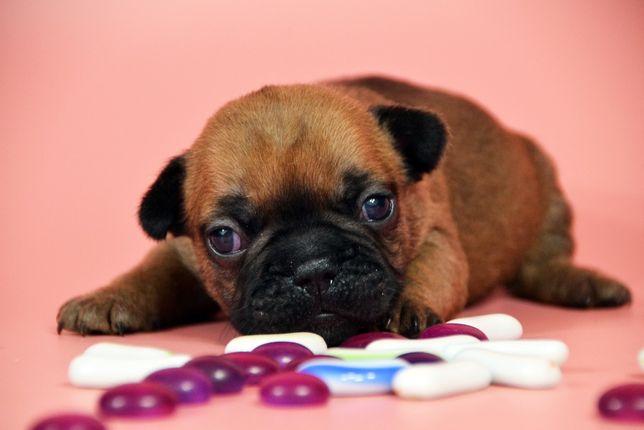 Предлагается к предварительному бронированию щенок француз (мальчик)