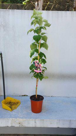 Framboesa , abacateiro abacate certificados