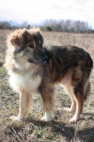 Добрая большая собака Барбос 5 лет
