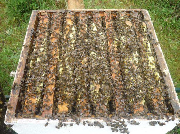 Enxames abelhas em núcleos de 7 quadros