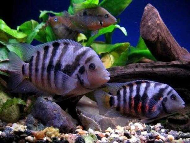 Рибки цехлазома чорнополоса