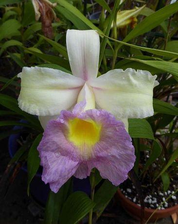 ORQUÍDEA Sobralia. Orquídea de flor grande - 16cm!