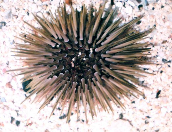 Morskie - Echinometra mathaei m