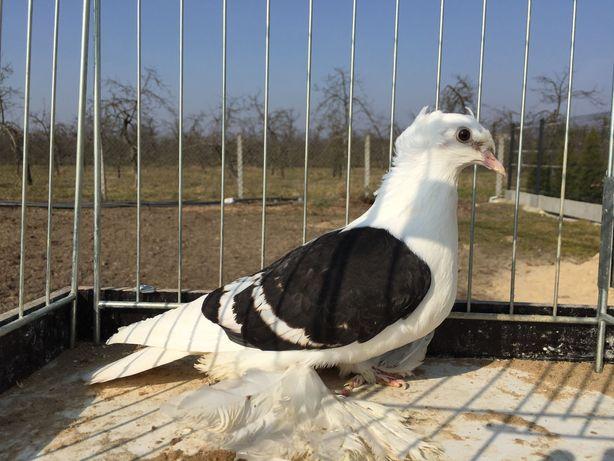 Gołębie ozdobne saksońskie