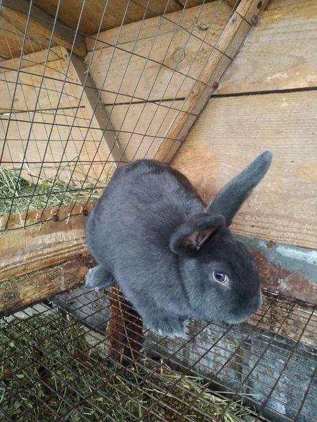 Продам самцов кроликов венский голубой .