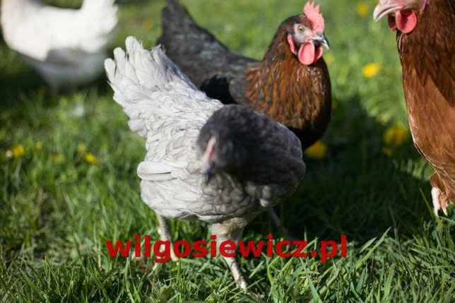 Młode kury nioski kura na jajko kokoszki