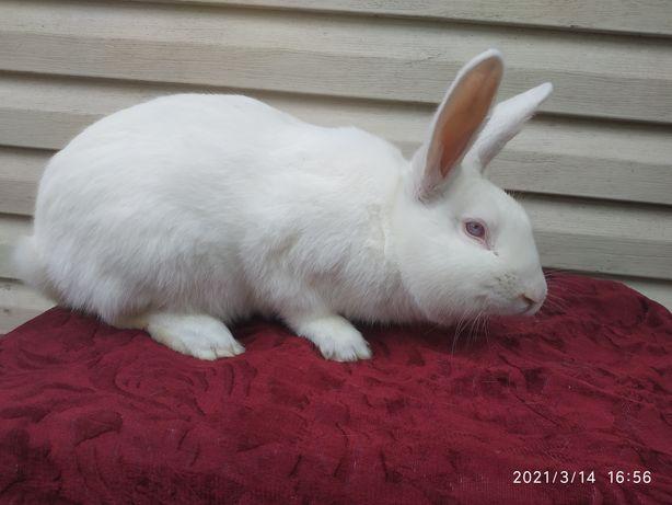 Продам кролів термондська біла