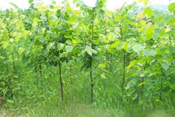 Липа саженцы для пасеки купить украина саджанці дерево пасека медонос