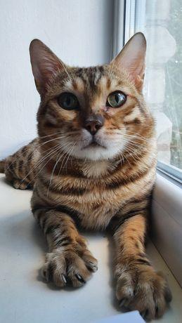 Котик с документами ласковый окрас золотой  стандарт