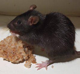 Отдам бесплатно крыску