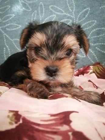 Sunie yorkshire terrier