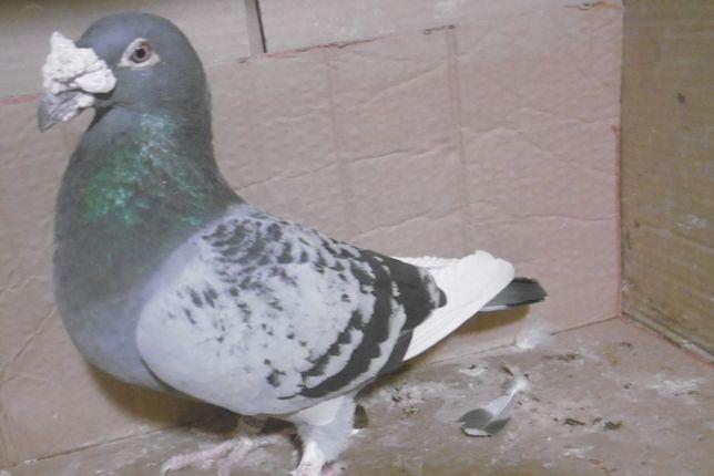 Gołębie Staropolskie Samczyk 2020 rok