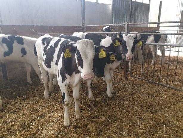 Piękne Jałowki kg na krowy