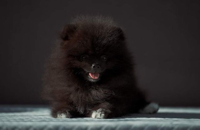 Pomeranian szpic miniaturowy Zkwp/FCI