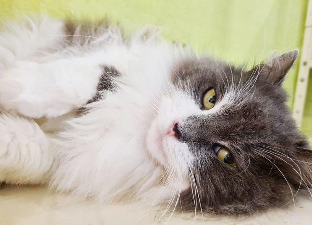 Серая пушистая красавица кошка Грейси ищет дом, 1 год, стерилизована