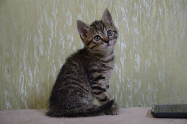 Котенок домашний девочка
