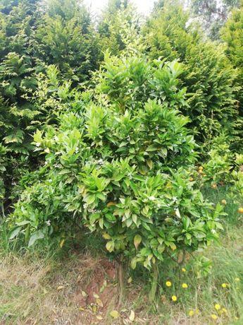 Tangerineiras com 5 anos a dar fruto