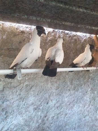 Pombos para ceder