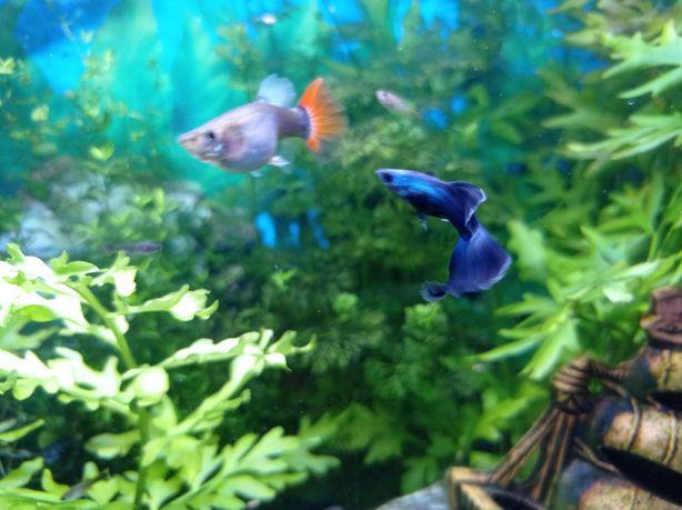 Gupiki mix 1-2 cm - gratisy, Rybki ryby akwariowe, rośliny do akwarium