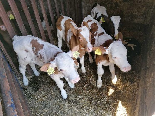 Byczki jałóweczki mięsne