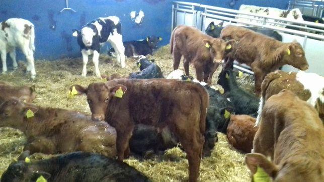 Byczki, jałówki mięsne, krzyżówki, HF