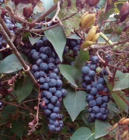 Виноград домашній