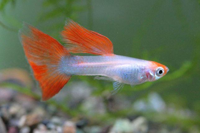 Peixes Guppys Machos e Fêmeas