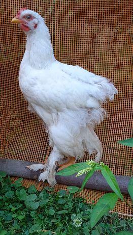 Красиві кури Брами яйця інкубаційні