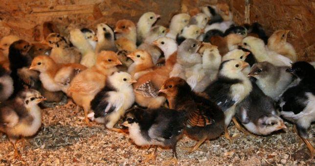 Цыплята,Куры,разных пород!