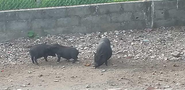 Porcos vietnamitas para venda