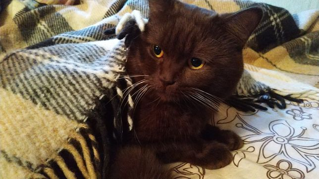 Кот британец вязка