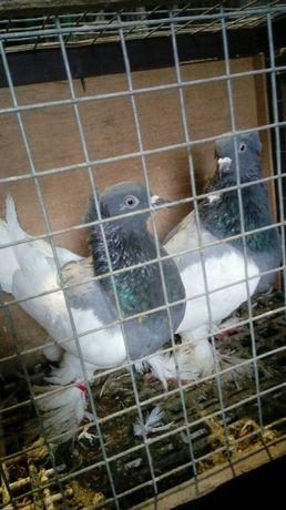 Gołębie murzynki siwe