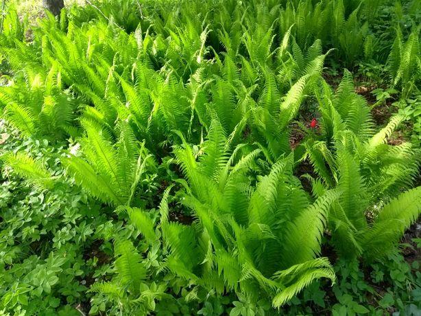 Paproć, paprotka ogrodowa sadzonki