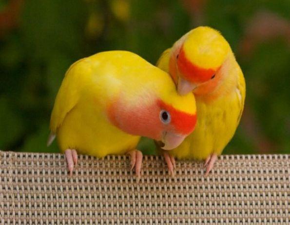 Попугаи неразлучники. Молодая пара