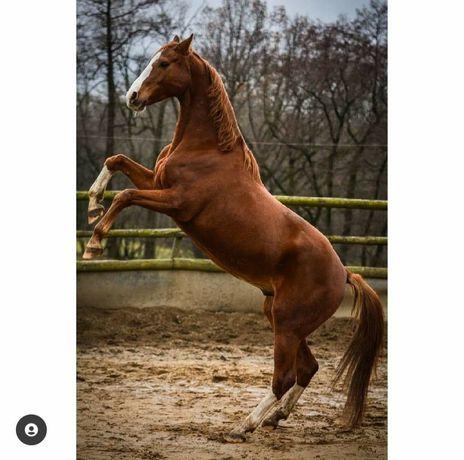 Wałach, koń ,na sprzedaż