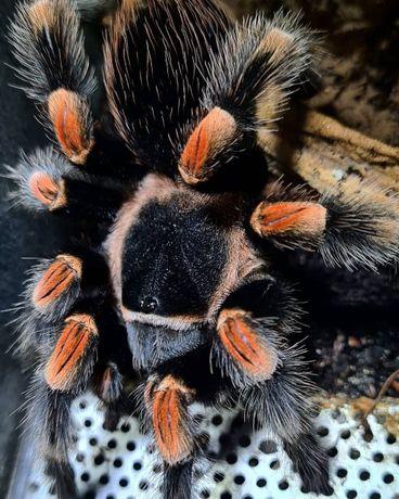 Паук птицеед для новичков огненноколенный мексиканский тарантул