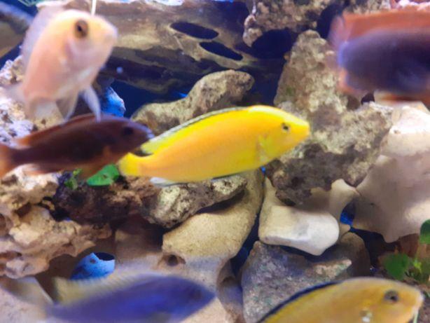 Pyszczak Yellow – Żółty - Labidochromis caeruleus