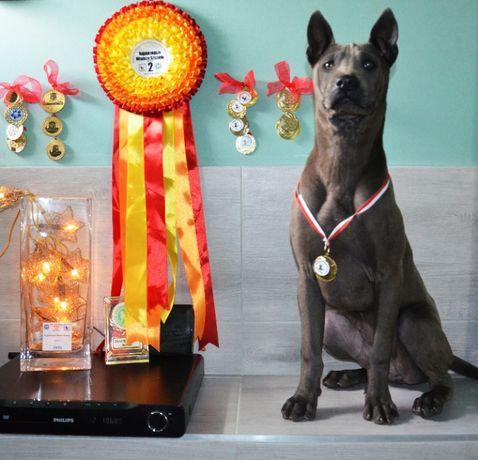 Szczeniaki Tajski Ridgeback, Szczenięta Thai Ridgeback Dog ZKwP FCI