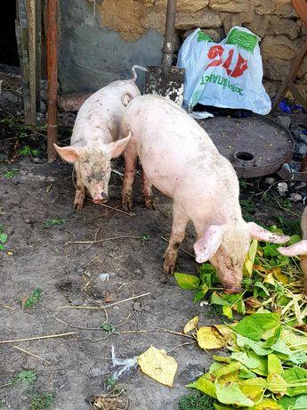 Свині,поросята 1800 за пару