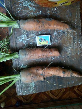 Морква сорт перфекція