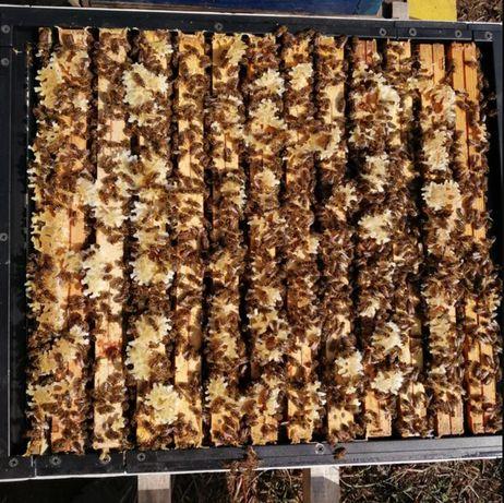 Пчелиные матки Порода Бакфаст от селекционной матки