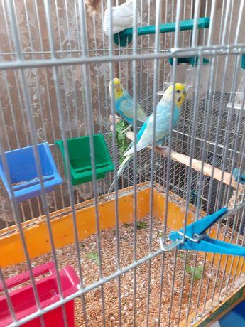 Молодая пара радужных волнистых попугаев